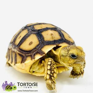 Tortoise Town Review