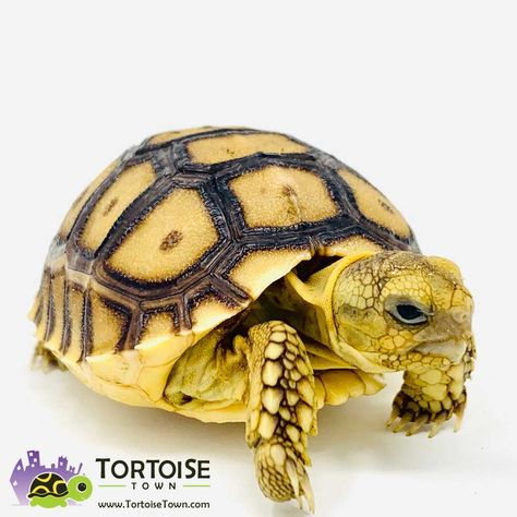 Tortoise Town Review – Buying baby tortoise for sale online